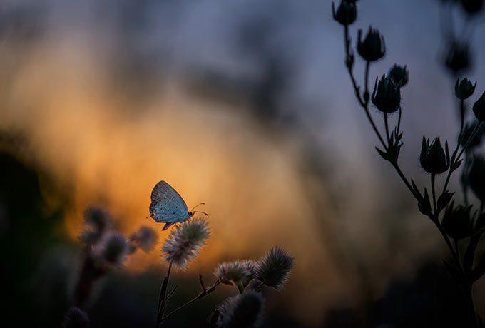 Schmetterlink im Licht vom Sonnenuntergang